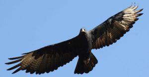 Black Eagle (Verreaux's Eagle) - Aquila verreauxii
